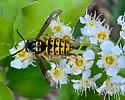 Yellow jacket queen? - Dolichovespula arenaria - female