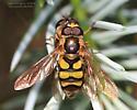 Syrphidae - Didea fuscipes