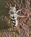 Unknown Beetle - Neoclytus caprea