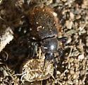 beetle - Eleodes osculans