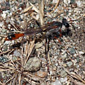 ID for Southern California wasp? - Ammophila