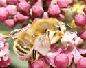 Broad-handed Leafcutter - Megachile latimanus - male