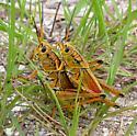 Happy hoppers - Romalea microptera - male - female