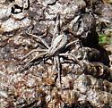 Spider ID help please - Thanatus