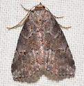 Small moth - Hyperstrotia villificans