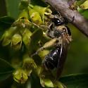 Bee - Andrena nuda - female