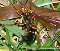 Eastern Cicada Killer  - Sphecius speciosus - female