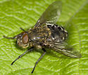 Fly with a bizzare face - Pollenia