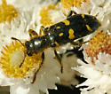 Checkered Beete - a green and yellow beetle - Trichodes ornatus