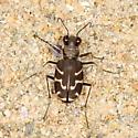Tiger Beetle - Cicindela tranquebarica