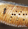 Small wasp laying eggs in mantis egg case - Podagrion - female