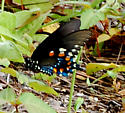 Black Spotted Butterfly - Battus philenor