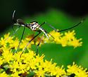 Crane Fly? - Toxorhynchites rutilus - male