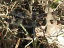 Banded Pennant - Celithemis fasciata - male