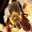 Andrena? - Andrena dunningi