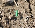 Tiger beetle, Osoyoos, BC