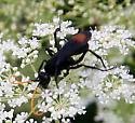 Wasp [Entypus unifasciatus?] ID Request - Entypus unifasciatus