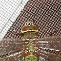 Dragonfly ID Request - Anax junius