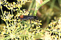 Wasp - Entypus unifasciatus