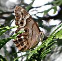 Pearly-eye butterfly - Lethe portlandia