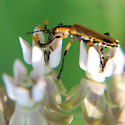 Leatherwing beetle with milkweed pollinia - Chauliognathus marginatus