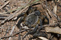 Burrowing Wolf Spider - Geolycosa missouriensis