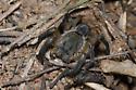 Burrowing Wolf Spider - Geolycosa missouriensis
