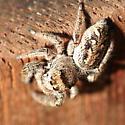female bronze jumper - Phanias albeolus - female