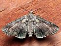 Paectes pygmaea