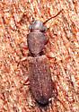 Beetle - Cathartosilvanus imbellis