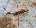 Giant Ichneumon Wasp (with potential mates) - Megarhyssa macrurus - male - female