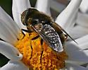 Large dark metallic brown fly with golf ball eyes - Eristalinus aeneus - male