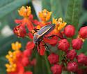 Largus bug on Asclepias curassavica, shown for size w/3rd-instar O. fasciatus nymph - Largus succinctus