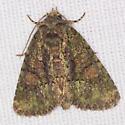 Spotted Phosphila Moth - Hodges #9619 - Phosphila miselioides