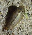 unknown leafhopper