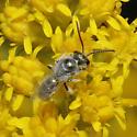 Small Bee - Lasioglossum - male
