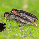 Red-necked Cane Borers - Agrilus ruficollis - male - female