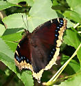 Recently eclosed Mourning Cloak - Nymphalis antiopa