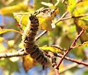 Butterflies and Moths - Acronicta dactylina