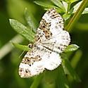 brown mottled moth (?)