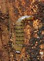 Beetle larva under bark