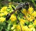 sphecid - Isodontia mexicana