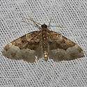 Toothed Brown Carpet - Hodges#7390 - Xanthorhoe lacustrata