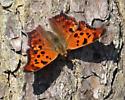 Unknown moth - Polygonia interrogationis