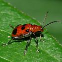 Leaf beetle 7 - Neolema sexpunctata