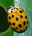 Ladybug--anyone know the species? - Harmonia axyridis