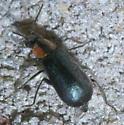 Black beetle with orange and back pronotum