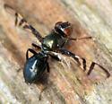 signal fly - Rivellia - female