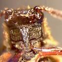 Macropogon testaceipennis