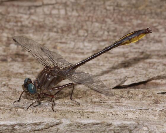 Brimley's (Sandhill) Clubtail - Phanogomphus cavillaris - male